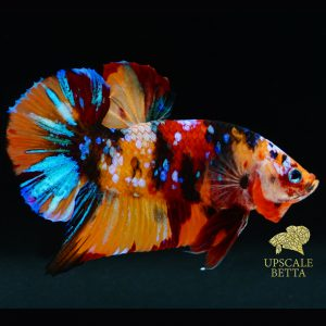 multicolor-bettafish
