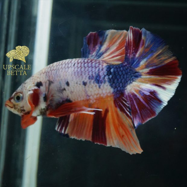 All About Fancy Multicolor Betta Fish – A Unique Fighting Fish