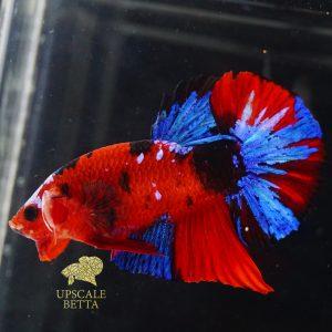 koi-multicolor-betta-fish