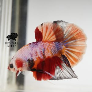 fancy-multicolor-betta-fish