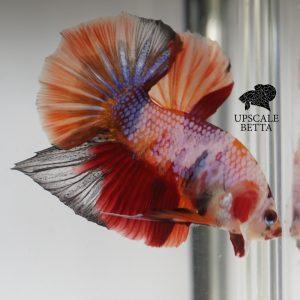 fancy-multicolor-betta-fish