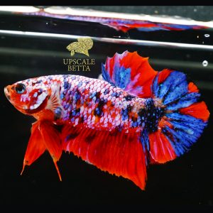 koi-galaxy-multicolor-betta-fish