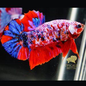 koi-galaxy-multicolor-betta-fish