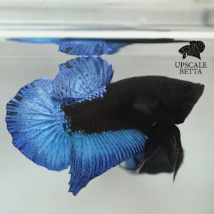 blue-black-light-betta-fish