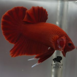 super-red-betta-fish