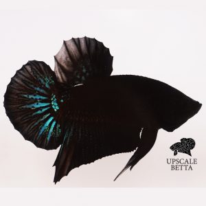 blue-black-light-betta-fish