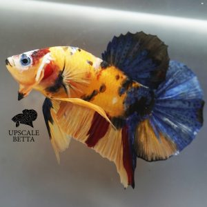 yellow-base-multicolor-betta-fish