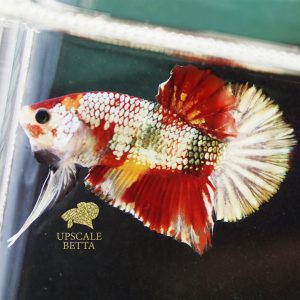 nemo-copper-multicolor-betta-fish