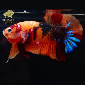 sick-betta-fish