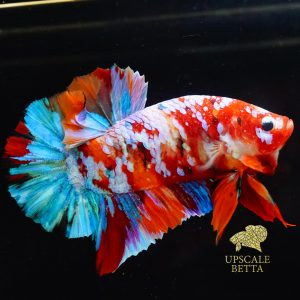 multicolor-betta-fish