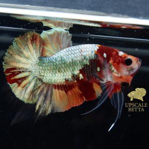 nemo-copper-multicolor-betta-fish