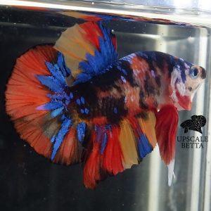 multicolor-betta-fish