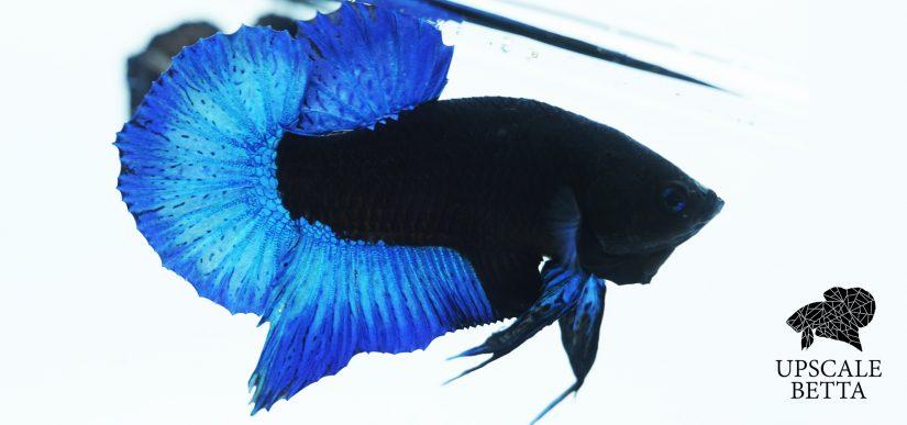 Blue Black Light Betta Fish