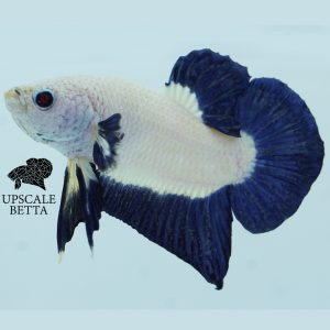 bluerim-bettafish