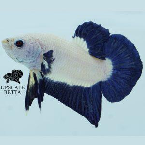 bluerim-bettafish