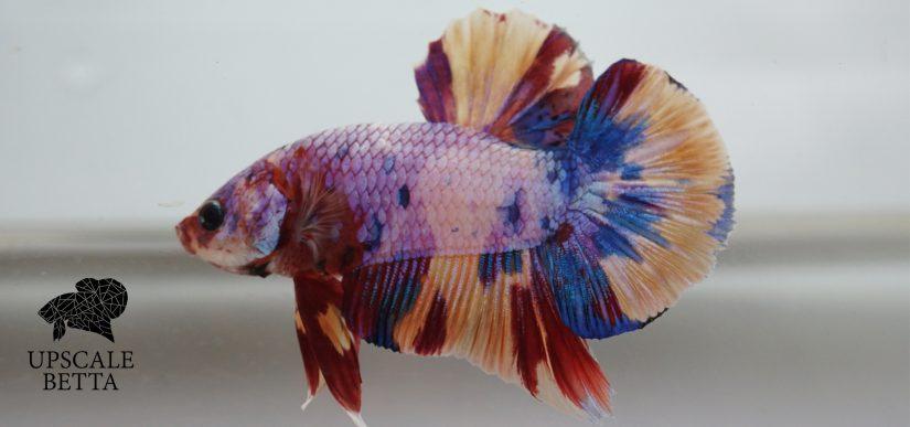 Fancy Multicolor Betta Fish