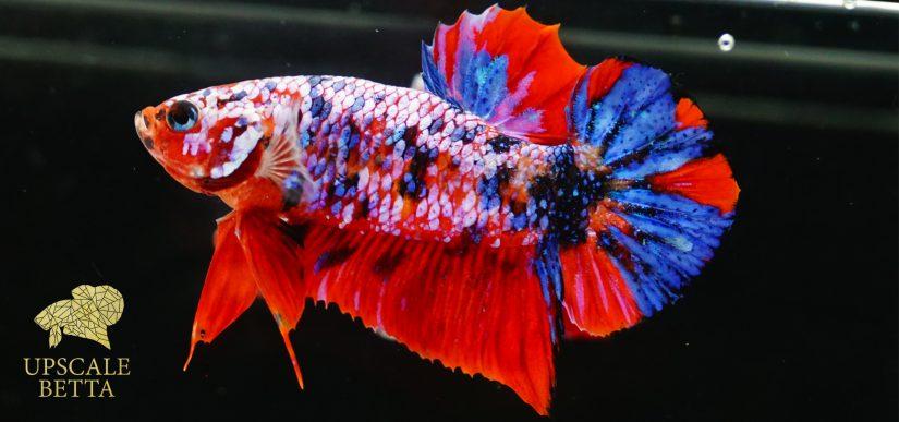 galaxy-koi-betta-fish
