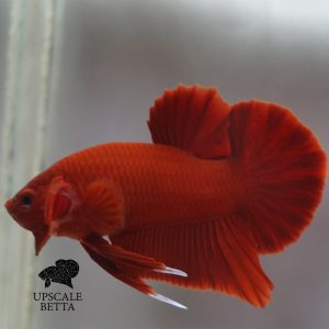super-red-bettafish
