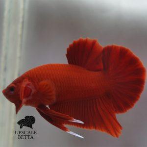 super-red-bettafish
