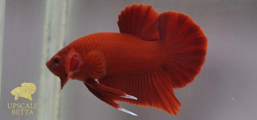Super Red Betta Fish