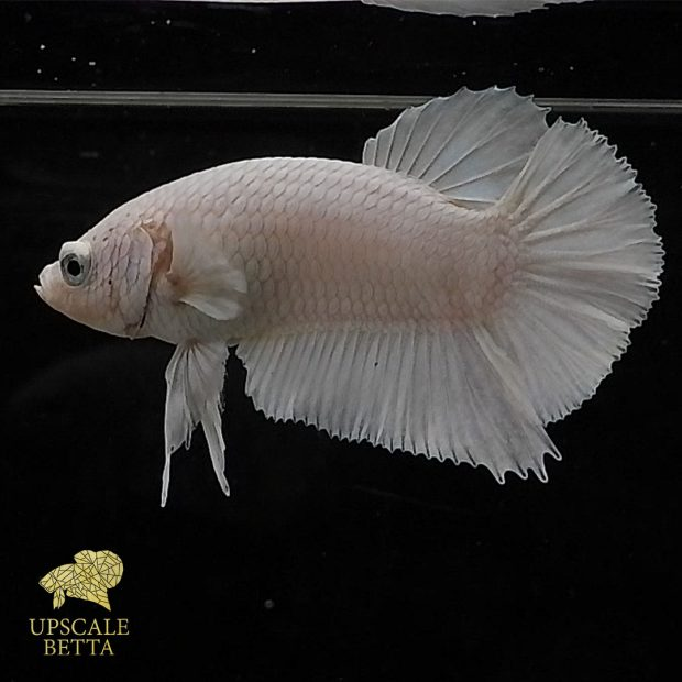 White Platinum Betta Fish – The Beauty Behind Its Rarity