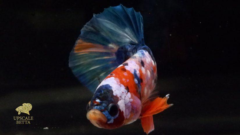 owning-a-betta-fish
