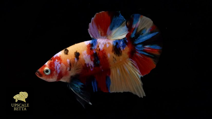plakat-betta-fish