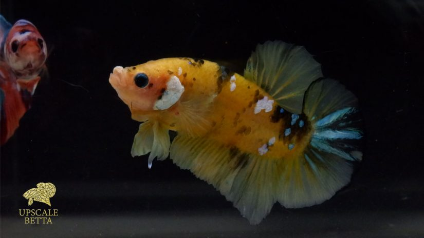 what-fish-can-you-keep-with-a-betta