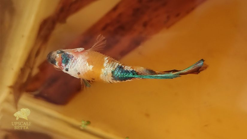 What to Know about Betta Fish Dropsy Symptoms