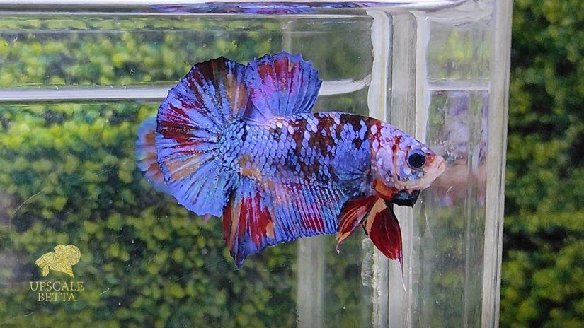 male-betta-fish
